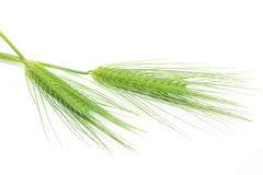 Greeen wheat Royalty Free Stock Images