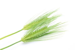 Greeen wheat Royalty Free Stock Photo