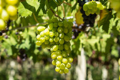 Greeen winogrona Fotografia Royalty Free