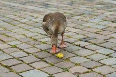 Greegans het voeden op een appel op een stedelijk gebied royalty-vrije stock foto
