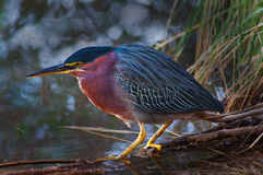 Green Heron Profile Royalty Free Stock Images