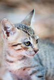Greek alley cat. Portrait of Tiger striped Greek alley cat outdoor stock photos