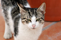 Greek Alley Cat. A stray alley cat in greece looks angry Stock Images