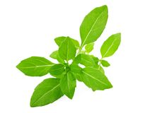 Greek basil Royalty Free Stock Photos