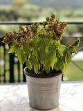 Greek Basil Culinary Herb stock photos