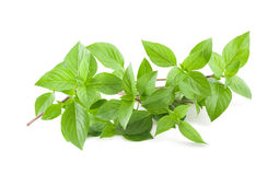 Greek basil Royalty Free Stock Photo