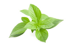 Greek basil Stock Image