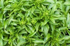 Greek basil plant Royalty Free Stock Photos