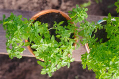 Greek basil potted garden herbs Stock Photo