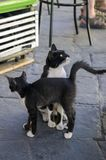 Greek black and white cat with kitty begging for food stock photos