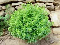 Greek Bush Basil Royalty Free Stock Image