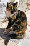 Greek calico cat Stock Photography