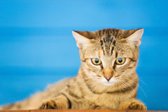 Greek cat Stock Image