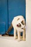 Greek cat. A greek cat in front of a blue door in the village of Thira, Santorini Stock Photography