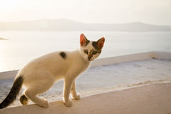 Greek cat. A Greek kitten balancing on a wall above the caldera in the village of Thira, Santorini Stock Image