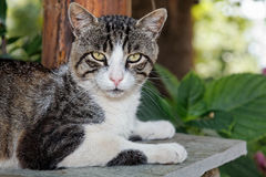 Greek cat Royalty Free Stock Photo