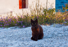 Greek cat - black cat sitting on a  sidewalk next to a flower, c Royalty Free Stock Images