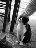 Greek cat hugging Stock Photography