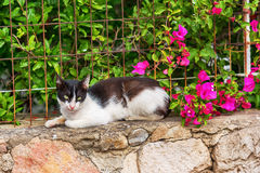 Greek cat lies near bougaunvillea Royalty Free Stock Photography
