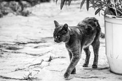 Greek Cat on the street, black and white photo Royalty Free Stock Images