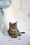 Greek cat Stock Image