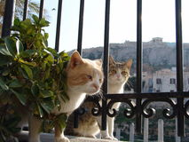 Greek cats. In Athens looking for food Stock Photo