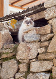 Greek cats - beautiful fluffy cat sits under the roof. Royalty Free Stock Photo