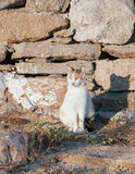 Greek cats - cat sits near a stone wall in sun. Royalty Free Stock Images