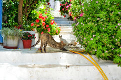 Greek cats playing in street of Kastellorizo Island Royalty Free Stock Photography