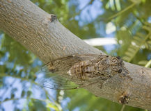 Greek cicada Royalty Free Stock Image