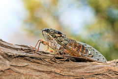 Greek Cicada Stock Photography