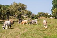 Greek cows Stock Photos