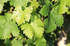 Grape Vines and leaves- Greek food and wine and cuisine tours all over the world royalty free stock photo