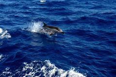 Greek dolphin jumpin above surface. Jumpin above the blue surface in the beautiful Aegaean Sea Stock Photography