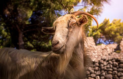 Greek domestic goat Royalty Free Stock Images