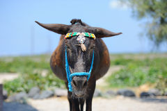 Greek donkeys at stable Stock Photography