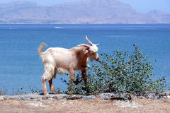 Greek goat in front of the Aegean Sea. Rhodes, Greece. Royalty Free Stock Photos