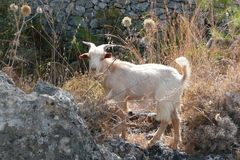 Greek goat in Lindos. Rhodes, Greece. Royalty Free Stock Photo