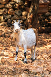 Greek goat Royalty Free Stock Photo