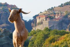 Greek goats roam free on the rugged rock formations of Meteora with the Monasteries in the background. Typical Greek goats roam free on the rugged rock royalty free stock image