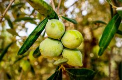 Greek green olives on the tree. Natural greek healthy food. Greek olives Stock Photos