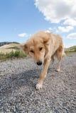 Greek herding dog Stock Image