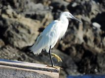 Greek heron Royalty Free Stock Images