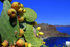 Greek island cactus Royalty Free Stock Images