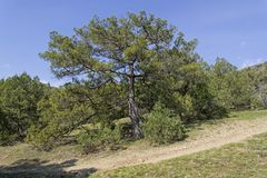 Greek Juniper Juniperus excelsa. royalty free stock photo
