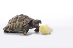 Greek land tortoise, Testudo Hermanni, eating chicory, white studio background Stock Photos