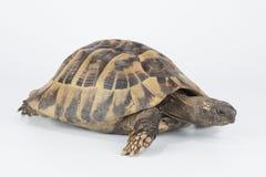Greek land tortoise, Testudo Hermanni isolated Stock Photos
