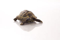 Greek land tortoise Testudo Hermanni on shiny white floor royalty free stock images