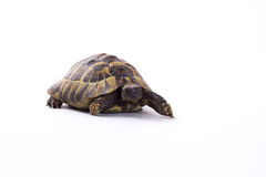 Greek land tortoise, Testudo Hermanni, white studio background Stock Images