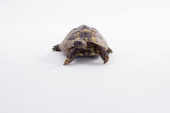 Greek land tortoise, Testudo Hermanni, white studio background Stock Image